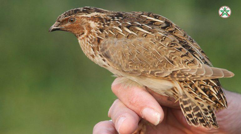 صيد و تربية طائر السمان (الفري ، السلوى) - القنص بالمغرب