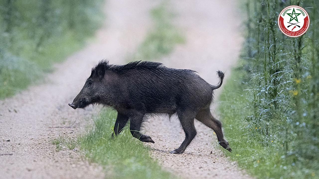 الخنزير البري